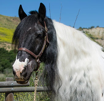 "Braveheart - American Gypsy Horse generously sponsored by Mary Ann ""Granny"" Schoellerman and Drive to Ride 2017."