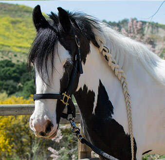 Rushmore - American Gypsy Horse generously sponsored by Lizzy Shelly, Makena Lee, and Monarch Beach Sunrise Rotary Club.